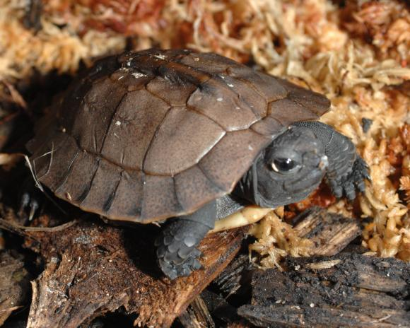 Young Arakan forest turtle